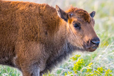 Baby Bison roaming around in the greenery pasture of the preserve park