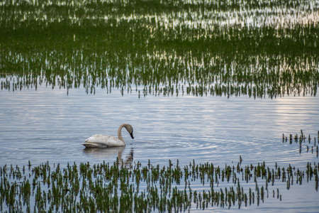 White Trumpeter Swan in Yellowstone National Park, Wyoming 스톡 콘텐츠