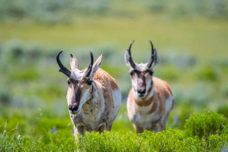 Pronghorn in the field of Yellowstone National Park, Wyoming