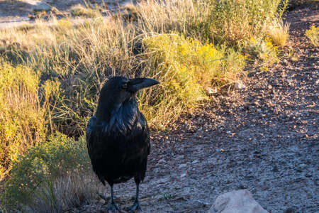 Common Raven in Petrified Forest National Park, Arizona