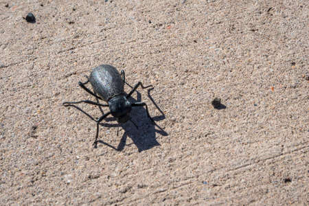 A small black beetle in Petrified Forest National Park, Arizona