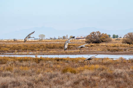 A large Sandhill Cranes in Bisbee, Arizona