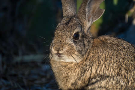 A brown Swamp Rabbit in Lake Havasu, Arizona