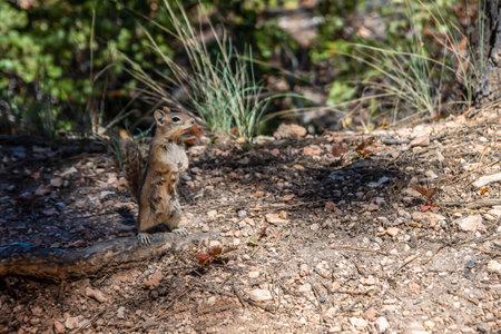 Golden mantled Ground Squirrel in Bryce Canyon National Park, Utah 版權商用圖片
