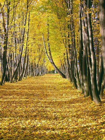 Oto�o avenida de �rboles de color amarillo Foto de archivo
