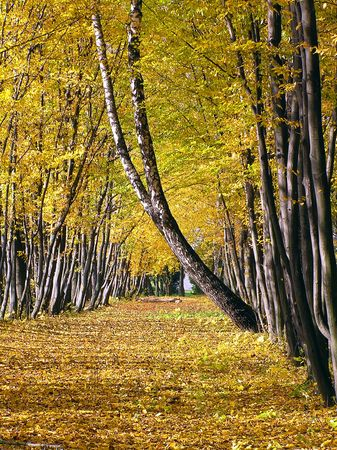 withering: Autumn avenue from yellow trees