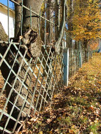 El viejo �rbol ha crecido a trav�s de una valla  Foto de archivo