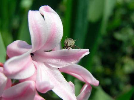 El peque�o error se encuentra en una flor rosa  Foto de archivo
