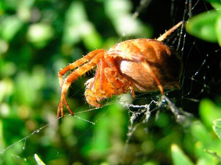 considerable: The big rufous spider sits on a spiders web