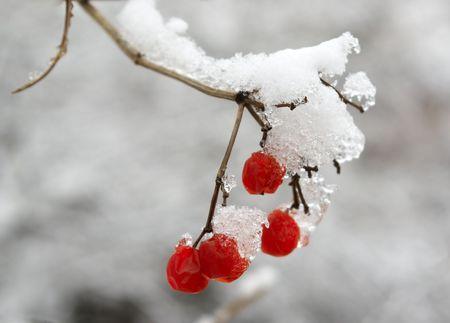 Bayas rojas de una monta�a de cenizas est�n cubiertos con una nieve