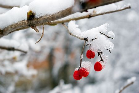 Red berries of a mountain ash are covered with a snow Stock Photo