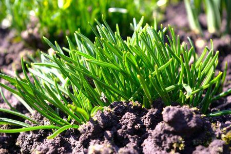 j�venes hierba verde sobre negro del suelo en la primavera de Foto de archivo