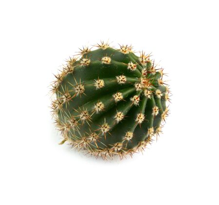 little round prickly cactus on white background