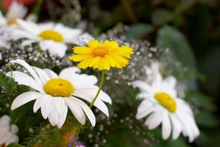 blanco y amarillo sobre fondo manzanilla una hierba verde