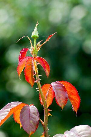 yema de hojas j�venes de color rosas y rojas