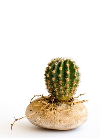 little round cactus with roots on a stone