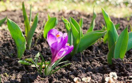 j�venes crece la flor violeta de la tierra cruda