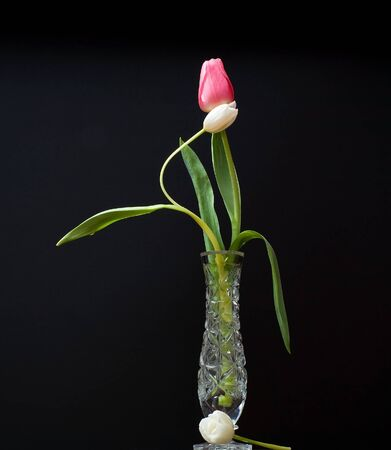 red and white tulip in water glass