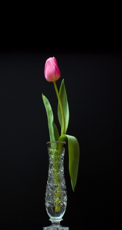 red tulip in water glass on black background Stock Photo