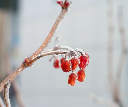 Red berries of a rowanberry are covered with a ice