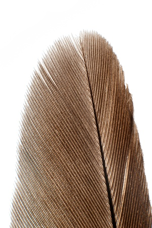 isolated bird feather on white background