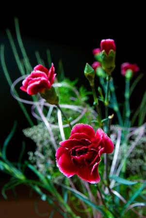 pink carnation on black background