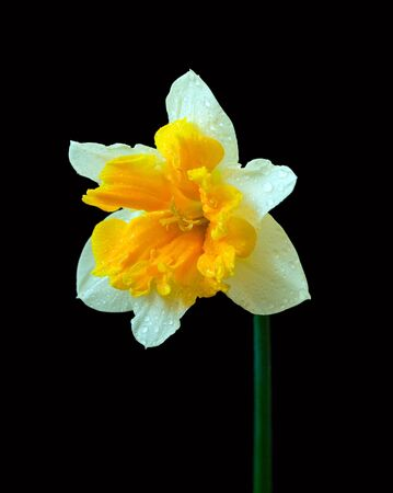 yellow narcissus on black background