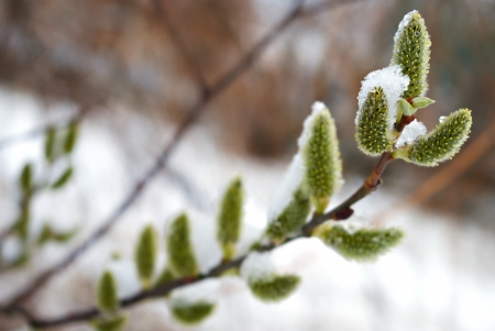 young sprout pussy willow under snow at spring Standard-Bild