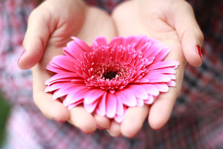 gerbera: flower is put in open hands of a girl Stock Photo