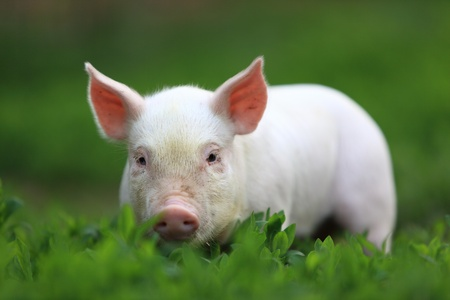 Young beautiful pigling on a green grass. Stock Photo