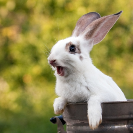 bunny rabbit: Cheery bunny sitting in a tank with natural background.