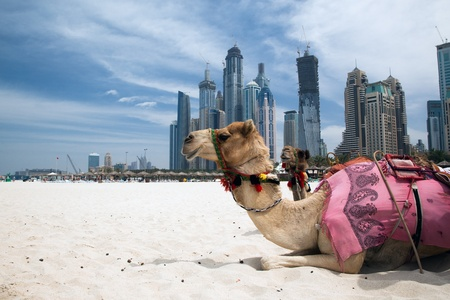 arabic desert: Camel at the urban background of Dubai.
