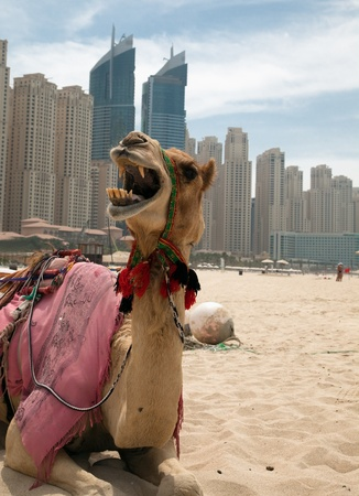 Camel at the urban background of Dubai. photo