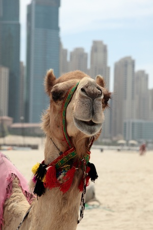 Camel at the urban background of Dubai.