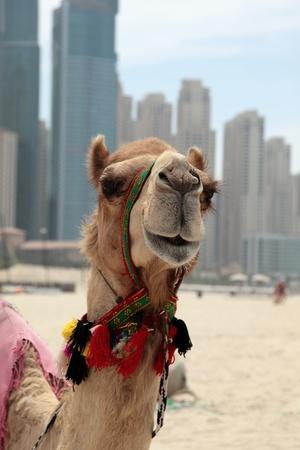 dubai city: Camel at the urban background of Dubai.