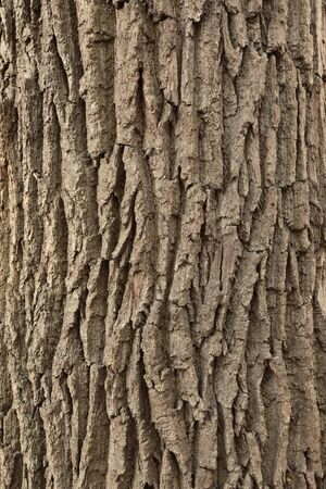 Texture of wood. Background of bark of old oak. photo
