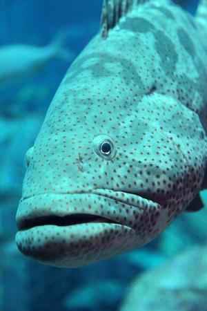 submerge: Grouper in the aquarium. Dubai, Emirates.