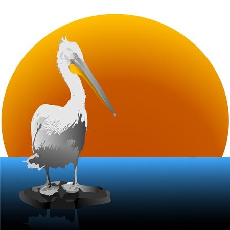 Pelican. Vector