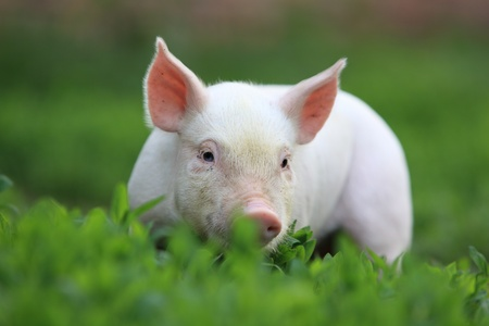Young beautiful pigling on a green grass. Archivio Fotografico