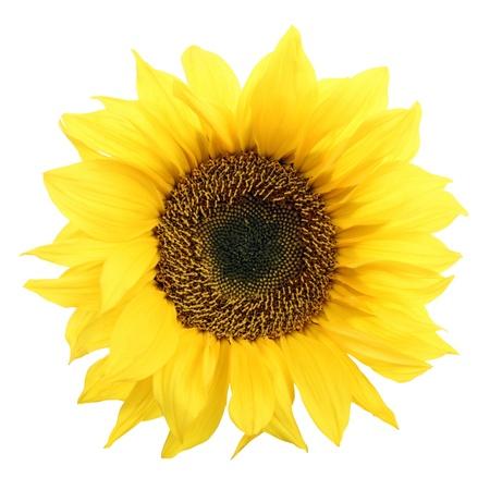 Sonnenblume auf weißem Hintergrund. Lizenzfreie Bilder
