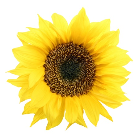 Sunflower isolated on white background. Stok Fotoğraf