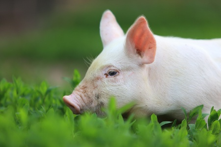 Young pigling on green grass.  photo