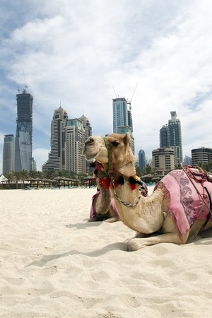 Camel at the urban background of Dubai. photo