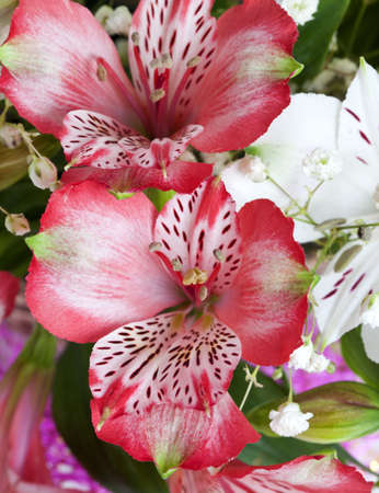 Beautiful white and pink flowers alstroemeria. photo