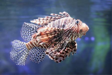 volitans: Lionfish in a Dubai Zoo aquarium. (Pterois mombasae. Petrois Volitans. Lionfish. Turkeyfish. Scorpionfish. Firefish).