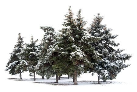 arbol de pino: Los �rboles de abeto aislado en fondo blanco