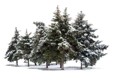 fresh snow: Trees spruce isolated on white background   Stock Photo