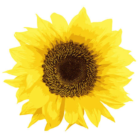 sunflower isolated: Ilustraci�n girasol aislado en blanco Vector Background