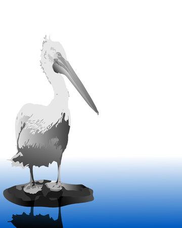 pelicans: Pelican standing at water  Illustration