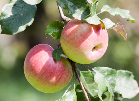 healthy growth: Two ripe red Apples on a branch of apple trees in the garden